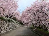八百萬神之御殿のソメイヨシノ・神山町のしだれ桜