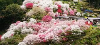 仁淀川町上久喜の花桃と桜街道♪