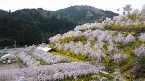 春爛漫♪神山町さくら街道