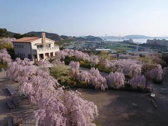 花見山『心の手紙館』の桜